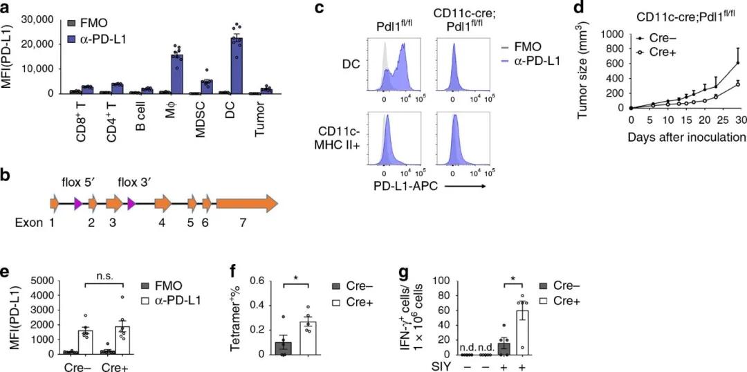 探索肿瘤免疫疗法新机制,研究人员揭示树突状细胞PD-L1抑制T细胞活化的新机制