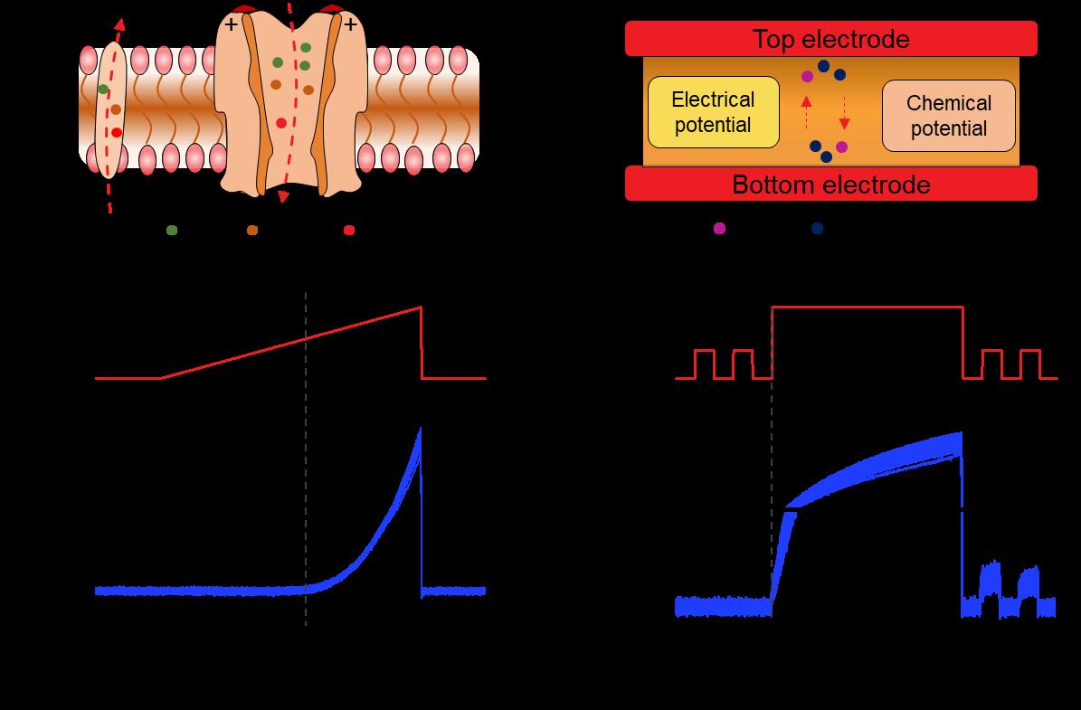 受生物启发制备的新原理树突器件,复现了生物树突对信号的非线性过滤、积分等功能。