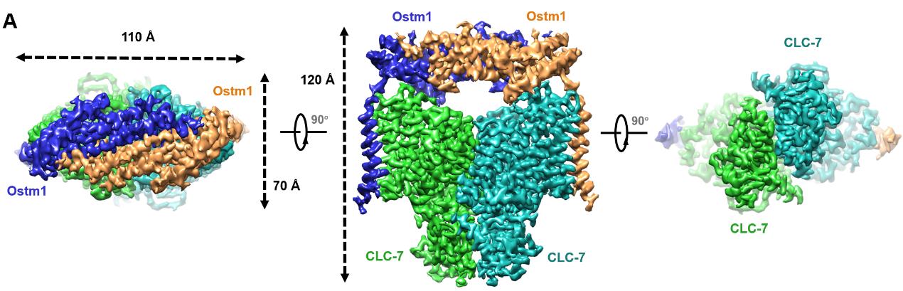 CLC-7/Ostm1的三维结构展示